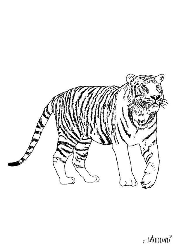 Zwierzeta Do Kolorowania Tygrys Modowo Pl